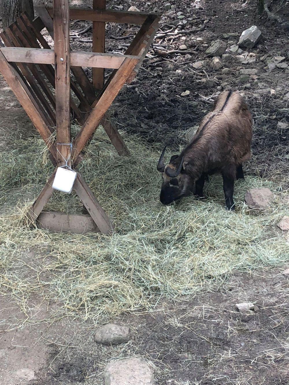 chèvre (7)