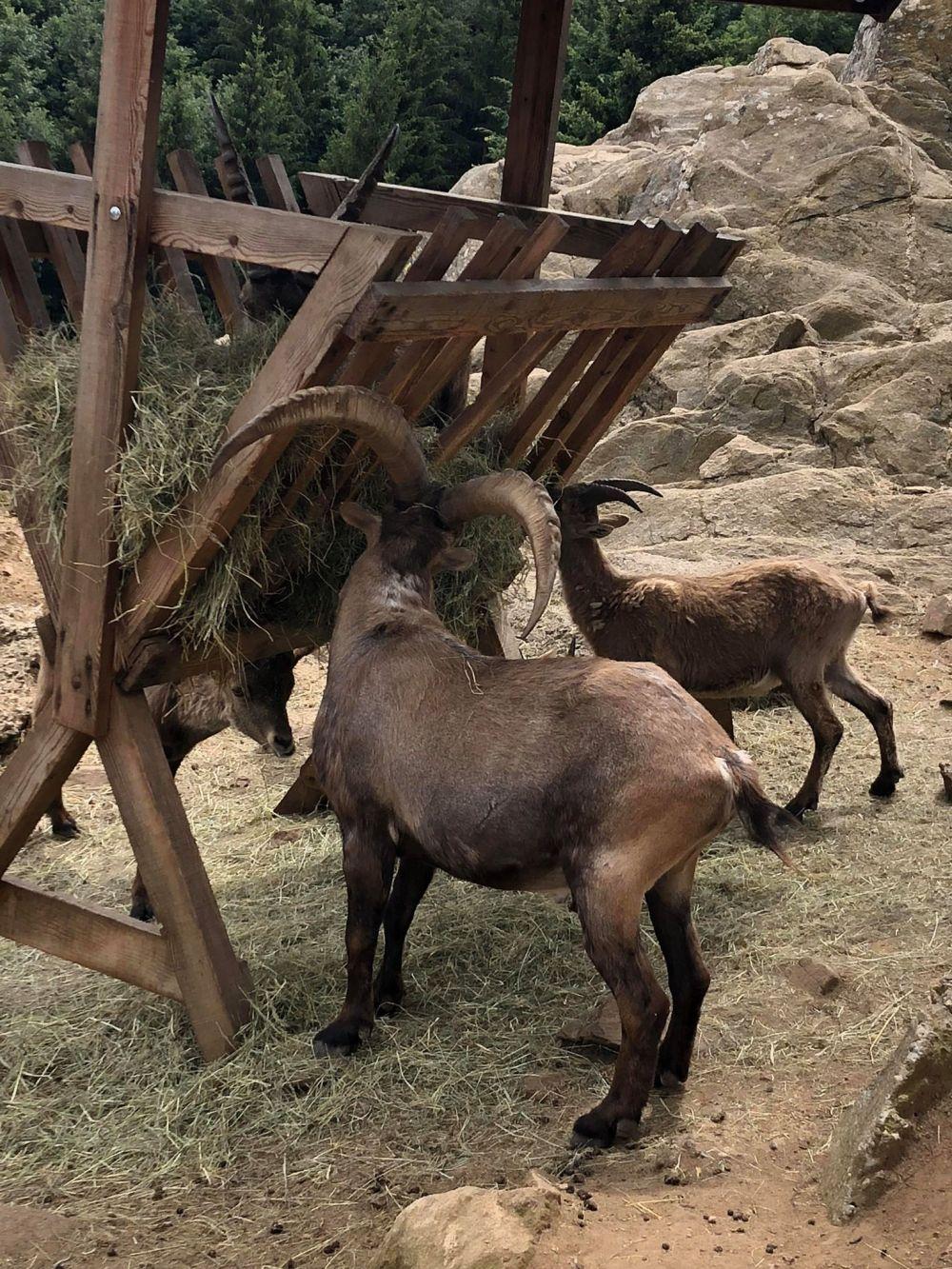 chèvre (8)