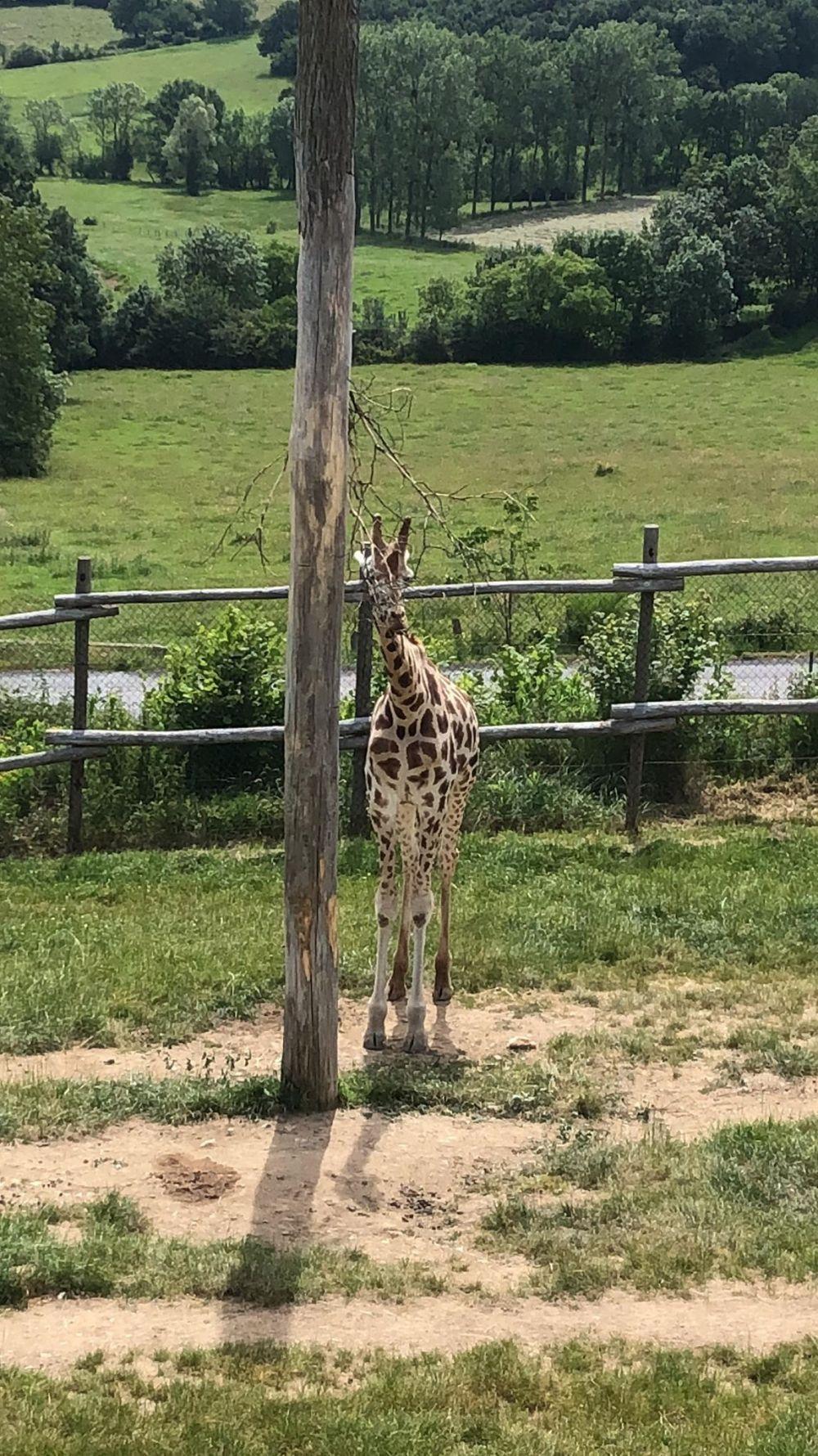 girafe (2)