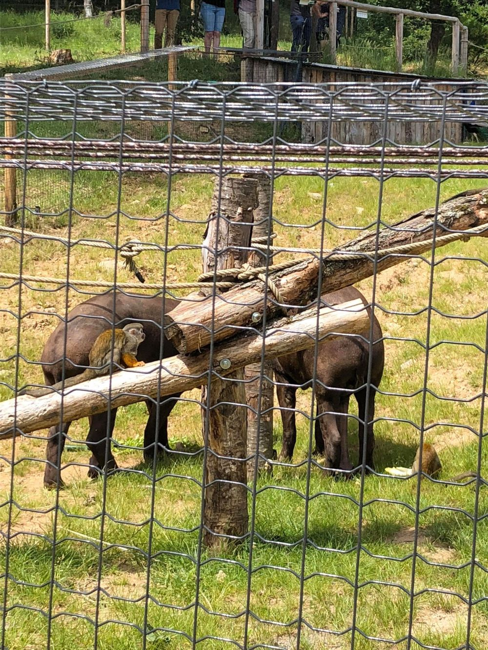 tapir singe