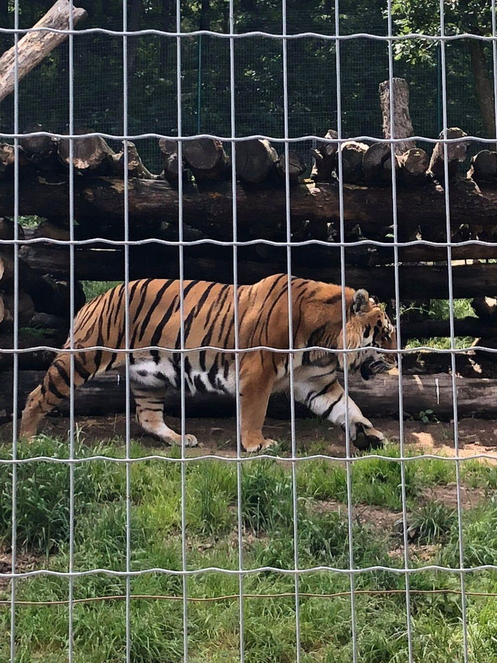 tigre (2)